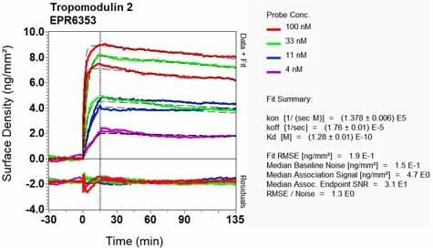 Other - Anti-Tropomodulin 2 antibody [EPR6353] (ab124833)