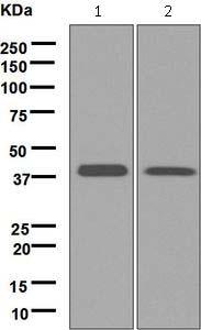 Western blot - Anti-Tropomodulin 2 antibody [EPR6353] (ab124833)