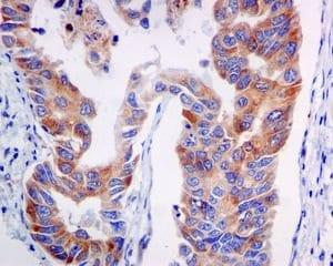 Immunohistochemistry (Formalin/PFA-fixed paraffin-embedded sections) - Anti-VPS34 antibody [EPR5301] (ab124905)