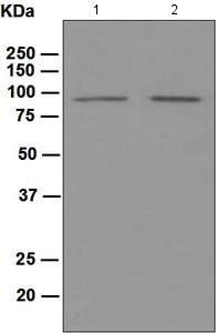 Western blot - Anti-PROX1 antibody [EPR3128(2)] (ab124910)