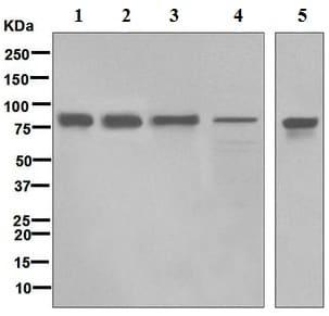 Western blot - Anti-SUN2 antibody [EPR6557] (ab124916)