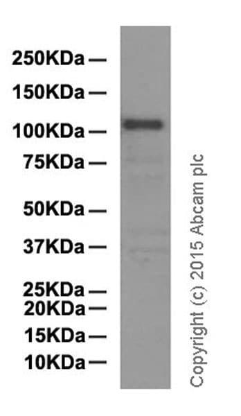 Western blot - Anti-Mib1/Mindbomb antibody [EPR2762(2)] (ab124929)