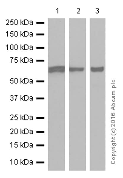 Western blot - Anti-IGF2BP2/IMP-2 antibody [EPR6741(B)] (ab124930)