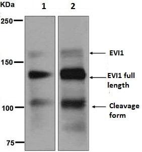 Western blot - Anti-EVI1 antibody [EPR5996] (ab124934)