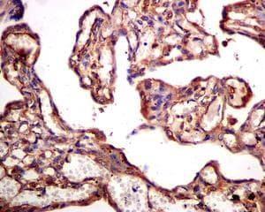 Immunohistochemistry (Formalin/PFA-fixed paraffin-embedded sections) - Anti-RAC3 antibody [EPR6679(B)] (ab124943)