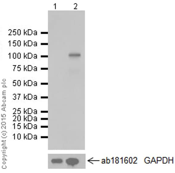 Western blot - Anti-IRE1 (phospho S724) antibody [EPR5253] (ab124945)