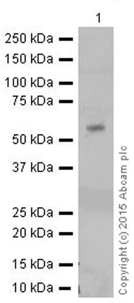 Western blot - Anti-TXNRD1 antibody [EPNCIR129] (ab124954)