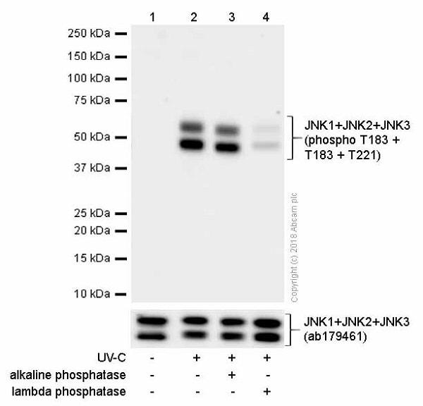 Western blot - Anti-JNK1 + JNK2 + JNK3 (phospho T183+T183+T221) antibody [EPR5693] (ab124956)