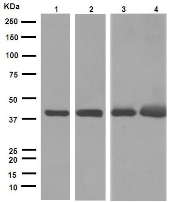 Western blot - Anti-alpha smooth muscle Actin antibody [EPR5368] (ab124964)