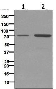 Western blot - Anti-ABCG5 antibody [EPR6203] (ab124965)