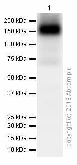 Western blot - Anti-ATP7b antibody [EPR6794] (ab124973)