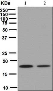 Western blot - Anti-Cofilin antibody [EPR6375] - Loading Control (ab124979)