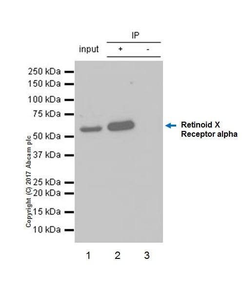 Immunoprecipitation - Anti-Retinoid X Receptor alpha/RXRA antibody [EPR7106] (ab125001)