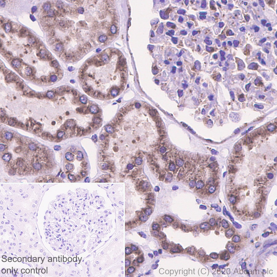 Immunohistochemistry (Formalin/PFA-fixed paraffin-embedded sections) - Anti-LMAN1 antibody [EPR6979] (ab125006)