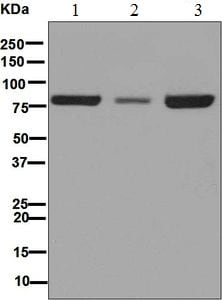 Western blot - Anti-Nuclear Matrix Protein p84 antibody [EPR5661] (ab125019)