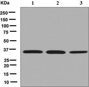 Western blot - Anti-USF1 antibody [EPR6430] (ab125020)