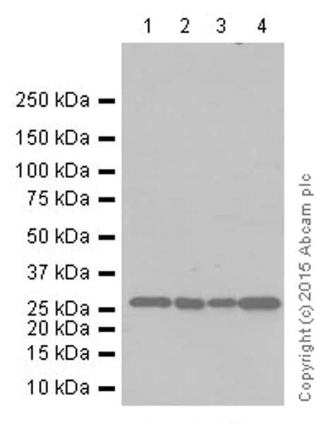 Western blot - Anti-Histone H1.0 antibody [EPR6537] (ab125027)