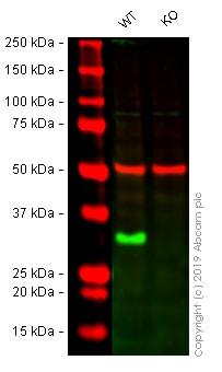 Western blot - Anti-Histone H1.0 antibody [EPR6537] (ab125027)