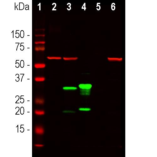 Western blot - Anti-mCherry antibody [1C51] (ab125096)