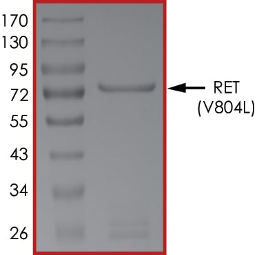 SDS-PAGE - Recombinant human Ret (mutated V804 L) protein (ab125531)