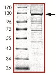SDS-PAGE - Recombinant human PI 3 Kinase catalytic subunit gamma protein (ab125538)