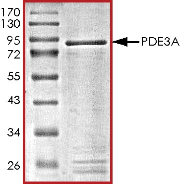 SDS-PAGE - Recombinant human PDE3A protein (ab125545)