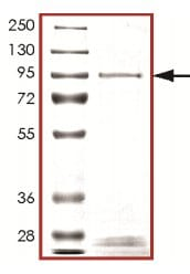 SDS-PAGE - Recombinant human PIP5K1 beta protein (ab125547)