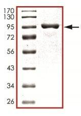SDS-PAGE - Recombinant Human PADI1 / PAD1 protein (ab125549)