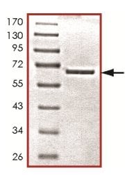 SDS-PAGE - Recombinant Human PCTAIRE1 protein (ab125552)