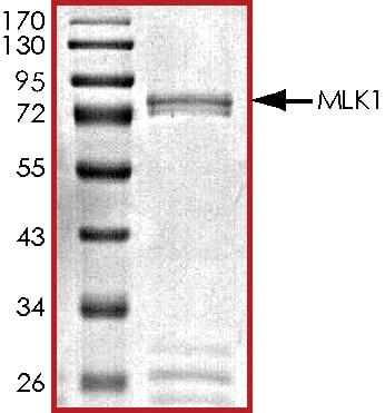 SDS-PAGE - Recombinant human MAP3K9 protein (ab125554)