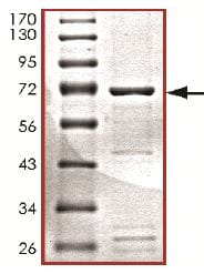 SDS-PAGE - Recombinant human PDK4 protein (ab125560)
