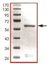SDS-PAGE - Recombinant mouse PIM3 protein (ab125561)