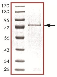 SDS-PAGE - Recombinant human MLK2 protein (ab125562)