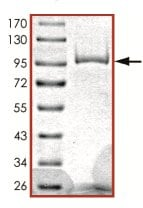 SDS-PAGE - Recombinant human PDE1C/PDE1 protein (ab125567)