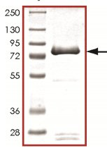 SDS-PAGE - Recombinant human PIP4K2 alpha protein (ab125572)