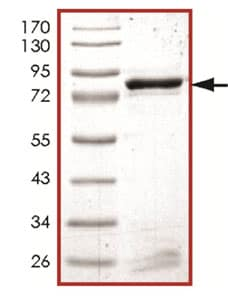 SDS-PAGE - Recombinant Human EPHA8 protein (ab125601)
