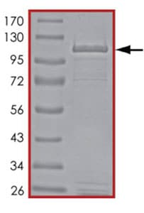 SDS-PAGE - Recombinant human PDE4A protein (ab125603)