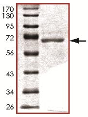 SDS-PAGE - Recombinant human PDK3 protein (ab125606)