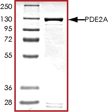 SDS-PAGE - Recombinant human PDE2A protein (ab125613)