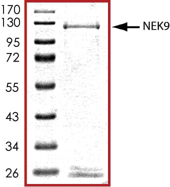 SDS-PAGE - Recombinant human NEK9 protein (ab125614)