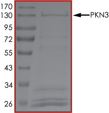 SDS-PAGE - Recombinant human PKN3 protein (ab125615)