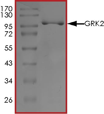 SDS-PAGE - Recombinant human GRK2 protein (ab125620)
