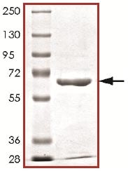 SDS-PAGE - Recombinant human MAP3K6 protein (ab125621)
