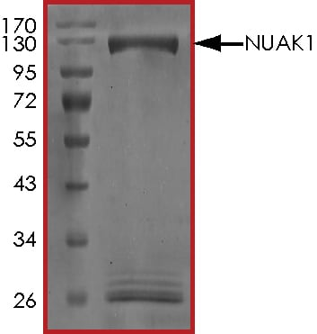 SDS-PAGE - Recombinant human ARK5 protein (ab125626)