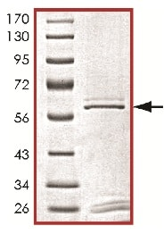 SDS-PAGE - Recombinant human PLK3 protein (ab125627)