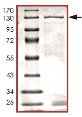 SDS-PAGE - Recombinant human VPS34 protein (ab125629)
