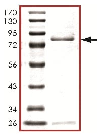 SDS-PAGE - Recombinant human MLK3 protein (ab125630)