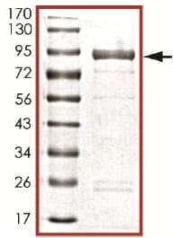 SDS-PAGE - Recombinant mouse TTBK2 protein (ab125631)
