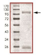 SDS-PAGE - Recombinant human SPHK2 protein (ab125634)