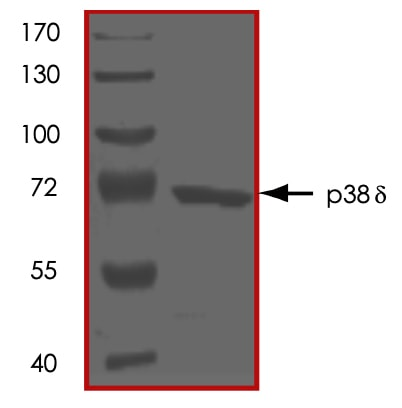 SDS-PAGE - Recombinant human p38 delta/MAPK13 protein (ab125643)